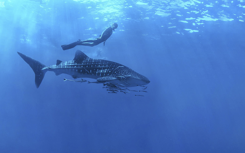 Whale shark diving in Cabo San Lucas|