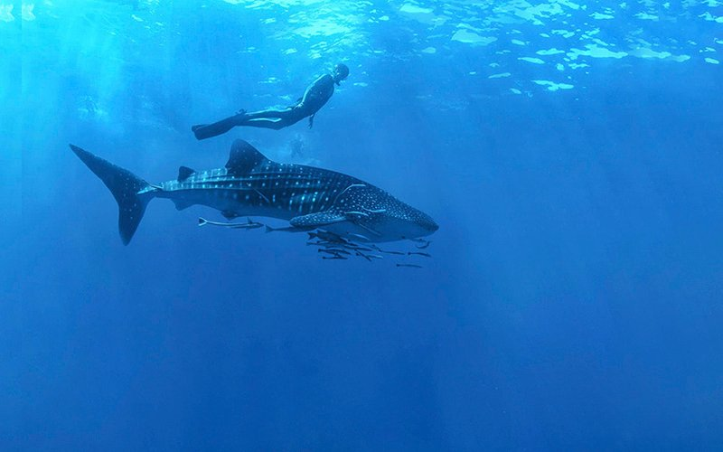 Snorkeling with whale sharks in Cabo|