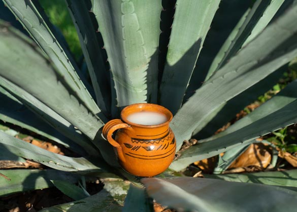 Pulque derives from the agave cactus