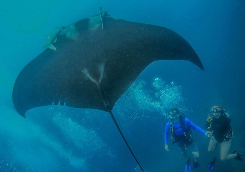 How big are manta rays?