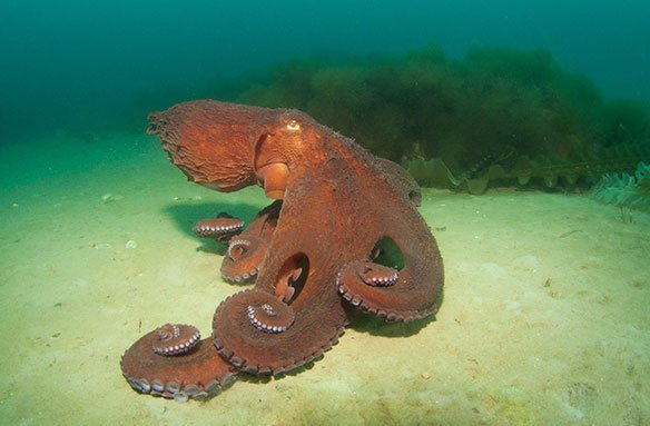 How do octopuses travel?