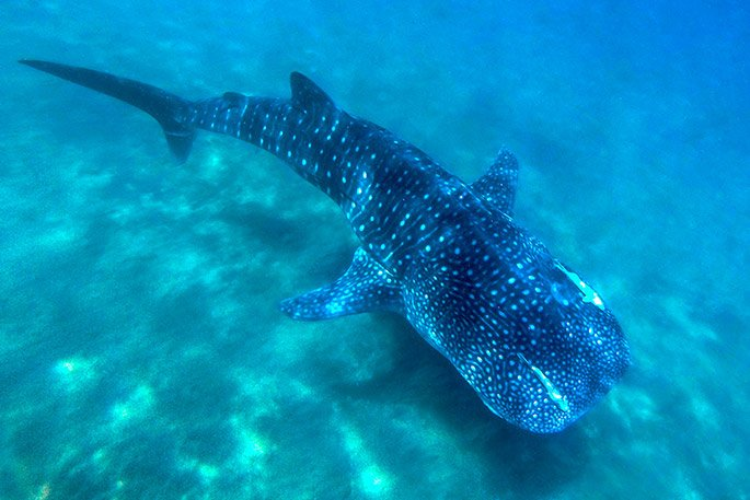 Encounter whale sharks of 32.8 ft in length with Cabo Adventures