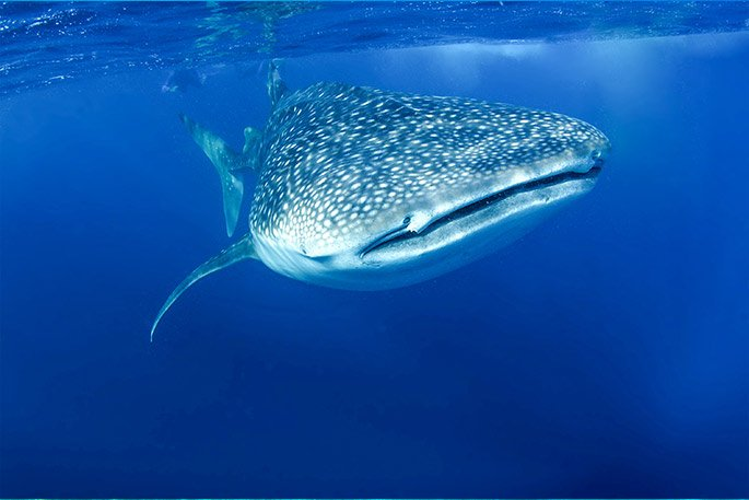 Whale Sharks are fish, not mammals – Whale Shark Encounter with Cabo Adventures