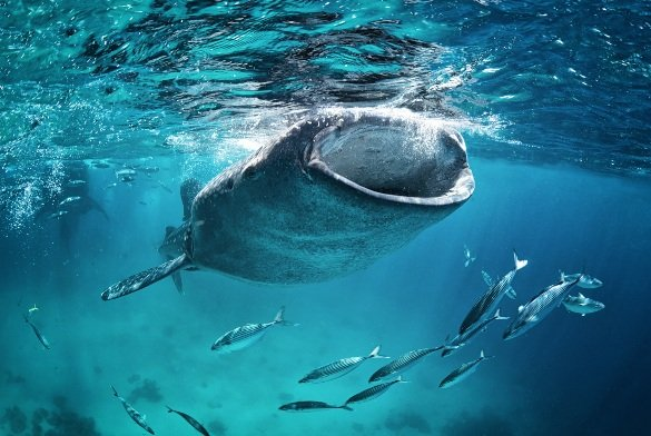 Is it safe to swim with whale sharks in Cabo