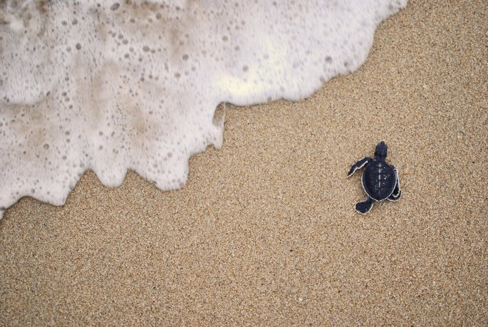 Baby Turtle moving towards the water