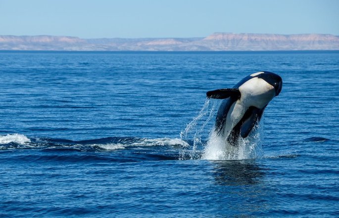 See Orcas on a whale watching in Cabo San Lucas with Cabo Adventures