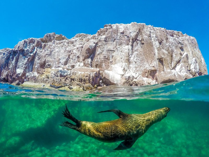 sea lion swimming in sea of cortez