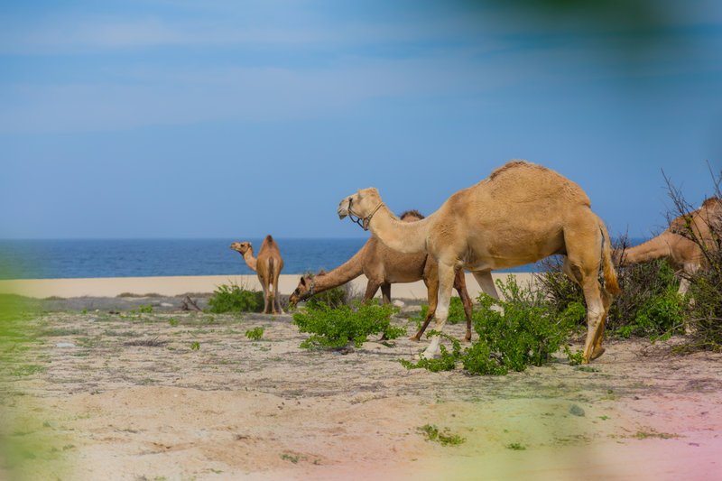 camels with one hump on cabo beach