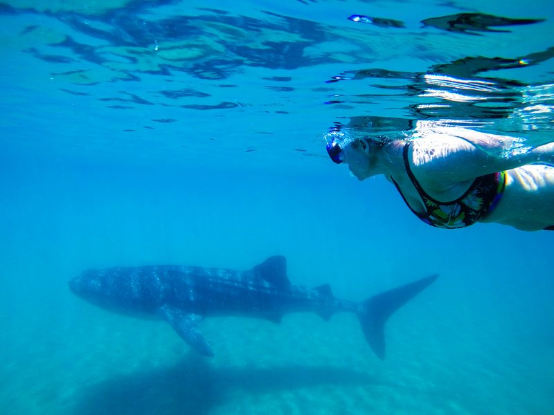 woman swimming with whale shark