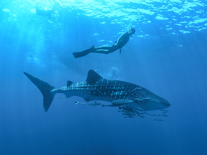 Swimming with whale sharks in Cabo