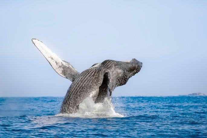 Whale breaching out of the water backwards