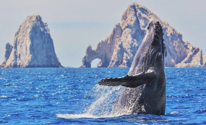 See Whales during whale watching season in Cabo San Lucas from December to April - Cabo Adventures