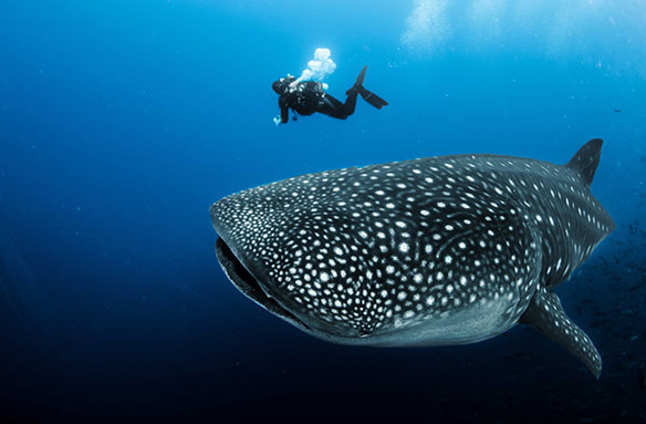 Are whale sharks actually whales?