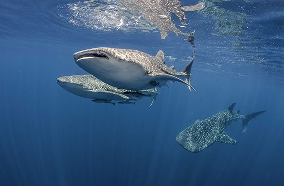 What's the world whale shark population?